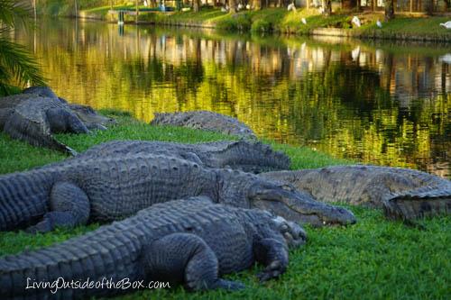 Gatorland Orlando-01902